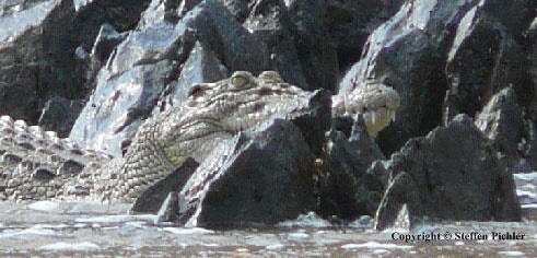 Ein Leistenkrokodil schaut an der Küste aus einer zerklüfteten Felsformation heraus (Foto)